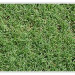 Bermuda Grass in St. Louis, Missouri
